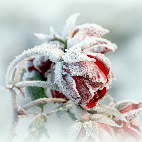Snowcovered Roses