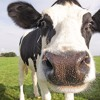 ATOM HEART MOTHER (PINK FLOYD COVER)