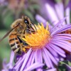How Doth The Little Busy Bee (Isaac Watts) narrated by Louis Ray