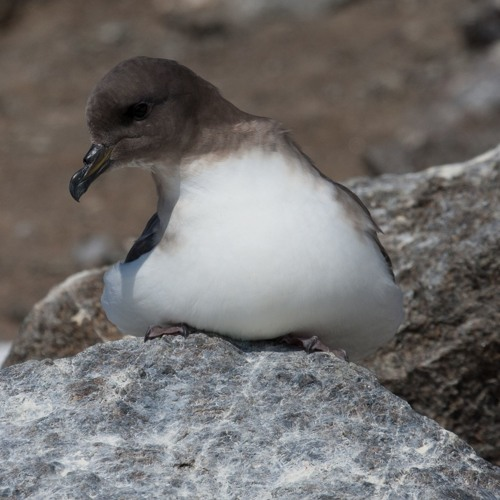Antarctic petrel in Dronning Maud Land