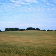 Field Of Corn Crakes(crex Crex)
