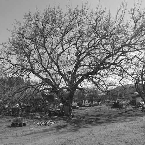 07 Under The Shade Of The Great Oak Tree (1)