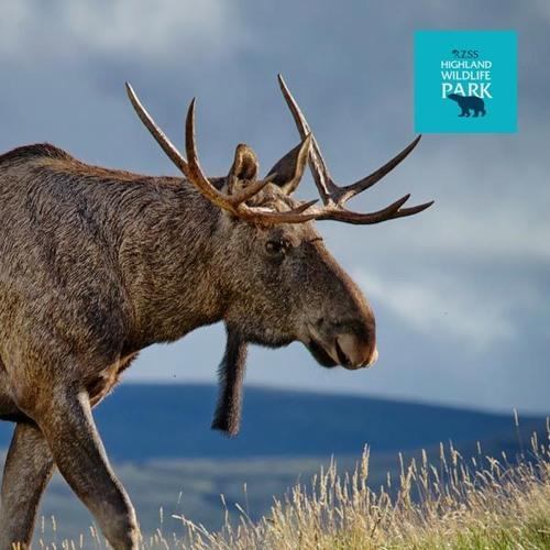 Eurasian elk - photo#49