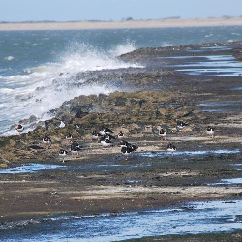 Oystercatchers at the coast