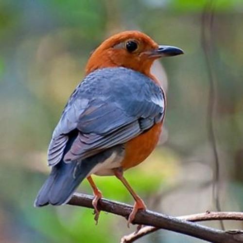 Kicau Burung Anis Merah By Sam Fumayin