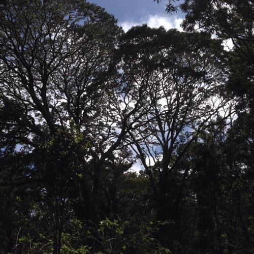 Hakalau Forest Soundscape
