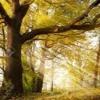 PAUL MCKEEVER - Old oak tree