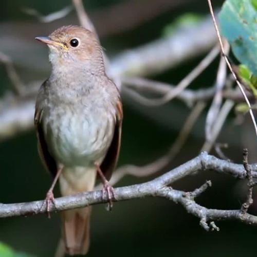 Kicau Burung Sikatan Londo Asli Hutan Liar By Wibowo Kusuma 1 On