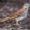 Suara Burung Brown Thrasher  Dengan 1.100 Jenis Lagu