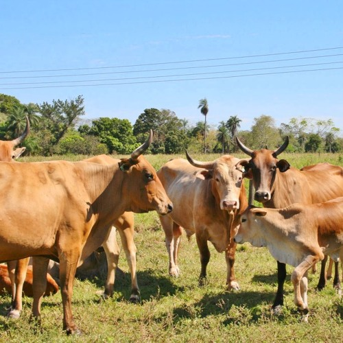 TZH 05 - Pantaneiro Revival: 500 Brazilian Cows and the Future of Food Security