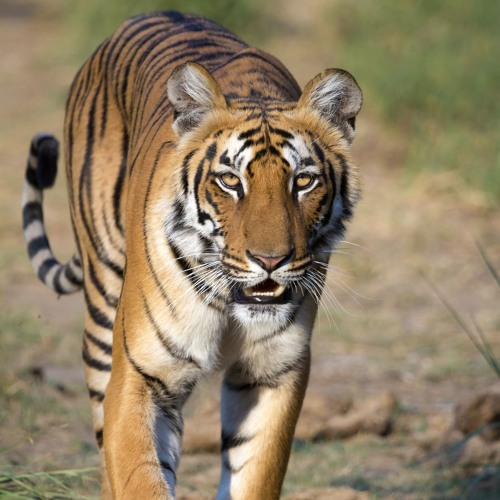 Internet White Spaces, Pollen Protein, and Tiger Conservation