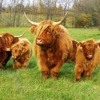 Fat Cows