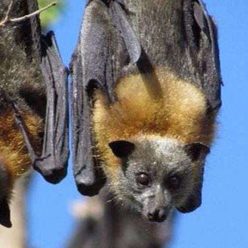 No easy fix for flying fox problems