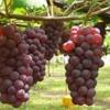 Anggur Baru