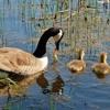 Canada Goose Honks