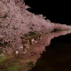steelpan in cherry‐blossom season