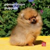 Pomeranian Puppies 2013 7X7 Mini Wall  download pdf