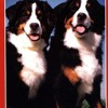 The New Bernese Mountain Dog  download pdf