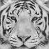 eye of the white tiger (prince of the jungle)