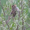 Possible Clay-Colored Sparrow x Field Sparrow