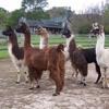 Llama's In My Garden