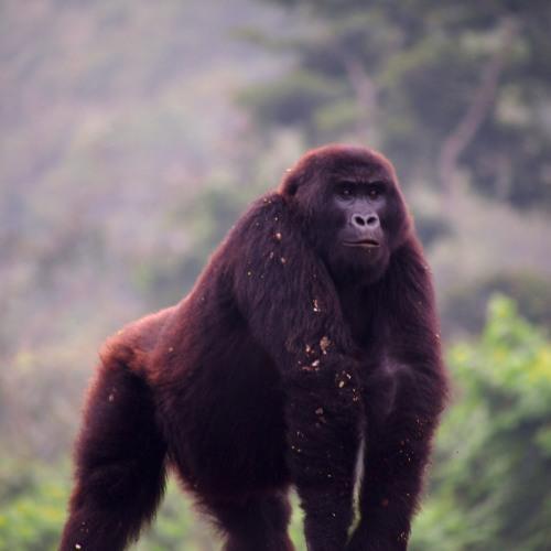 A Song For Gorilla