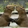 Capybara Song