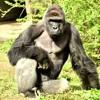"""Difficult to judge"": Did the Cincinnati Zoo gorilla deserve to die?"