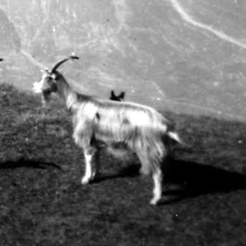 La tutela della Capra Bionda dell'Adamello. Intervista A Luigi Brambilla