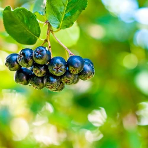 Doceńmy drobne owoce jagodowe - prof. Iwona Wawer