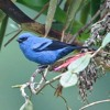 blue-and-black tanager (Tangara vassorii)