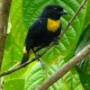 Golden - Chested Tanager NE 200 - 1110 ( Bangsia Rothschildi)
