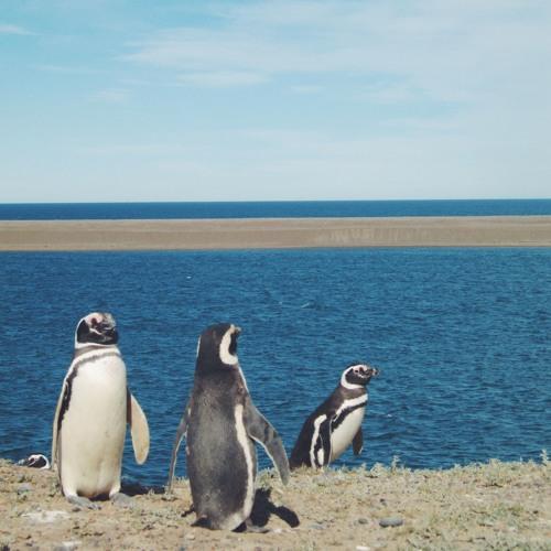 Magellanic Penguins - Punta Tombo (Argentina)