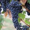 Inspired by the story of winemaker Carmen Stevens