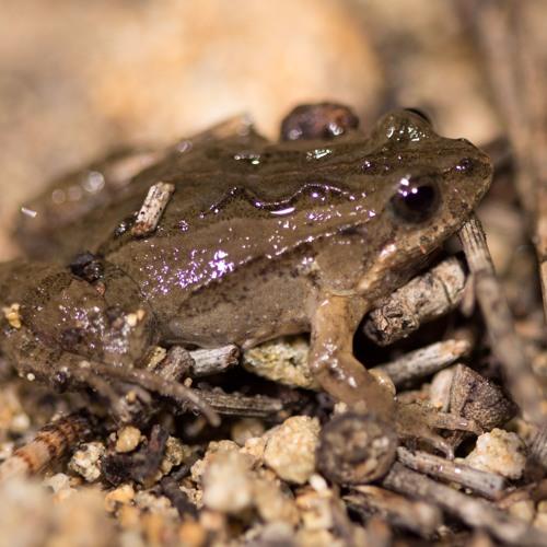 Another chorus of Slender tree frog and Squelching froglet Wellard Wetland June 2016