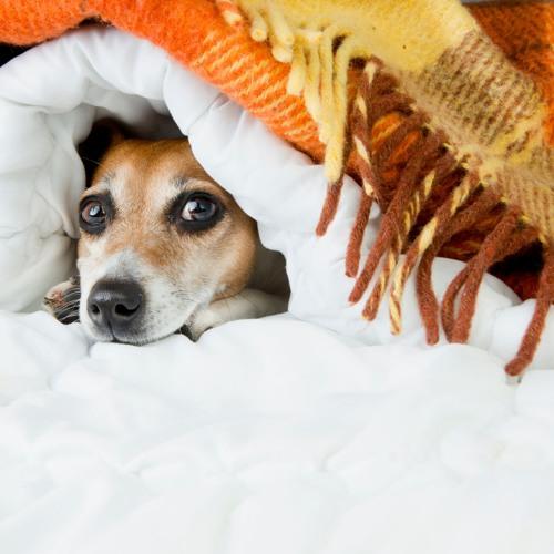 El vostre animal té por dels petards?