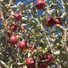 Successful Biological Orcharding Part 13 Compost Tea