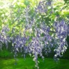 Wisteria *Free Direct Download*