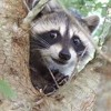 Raccoon Mememe