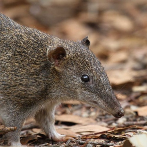 Bandicoots seen at Jervis Bay for first time since 1919