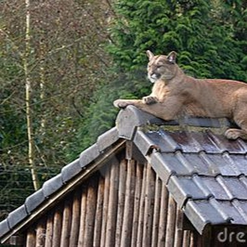 Cougar on the Roof (by Zekka)