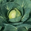 Cooking with cabbage, with the help of Jenny Morris 22 August 2016