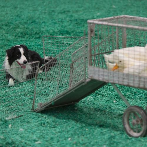 Herding Dogs Go From Farm to Fair by 89 3 WFPL News