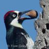 160915 Acorn Woodpecker Granaries