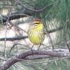 Palm Warbler; Luzerne, MI- 2014-0430