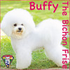 Buffy The Bichon Frise