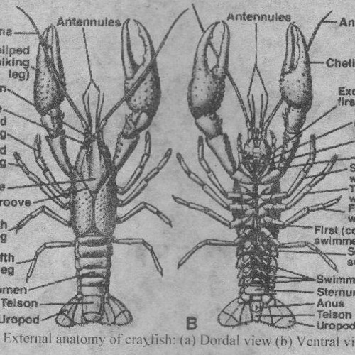 Crustacean Stretch Receptor