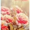 La Vie En Rose (cover)