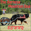 Benny The Bernese Mountain Dog