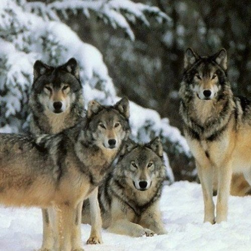 Wolfpack Wednesday